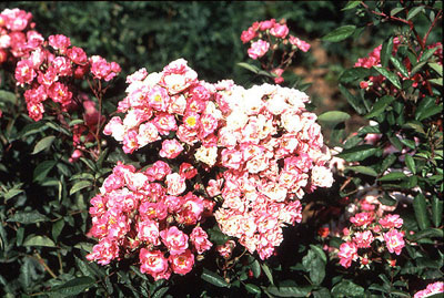 Roses of yesterday and today a great rose with a strong constitution literally covers itself with large trusses of lightly fragrant bright pink 1 inch semi double flowers mightylinksfo Image collections