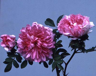 rambling rose song