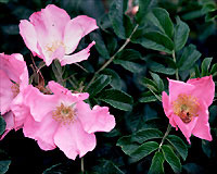 Three Inch Five Petaled Satiny Clear Pink Flowers Shine Like Stars From The Handsome Rugose Foliage Large Red
