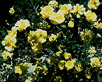 "The Yellow Rose 4 1//2/"" wide Metallic Yellow"